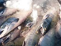 永徳 鮭乃蔵の画像