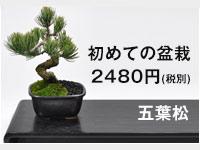 お試し盆栽 五葉松